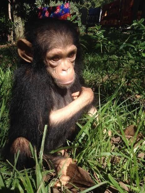 chimpance rescatado en la selva 3
