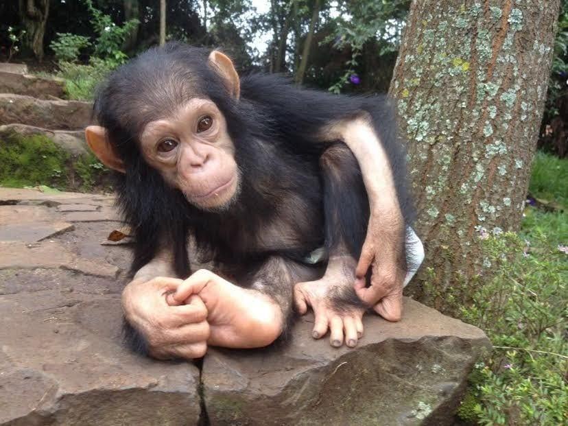 chimpance rescatado en la selva 4