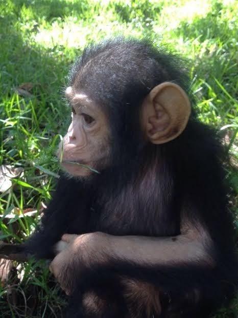 chimpance rescatado en la selva 5