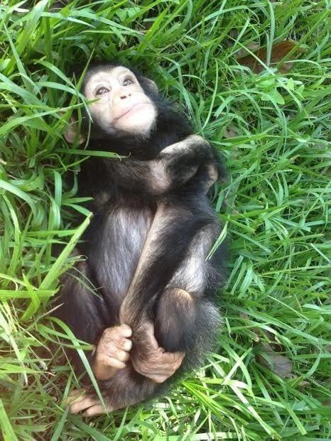 chimpance rescatado en la selva 6