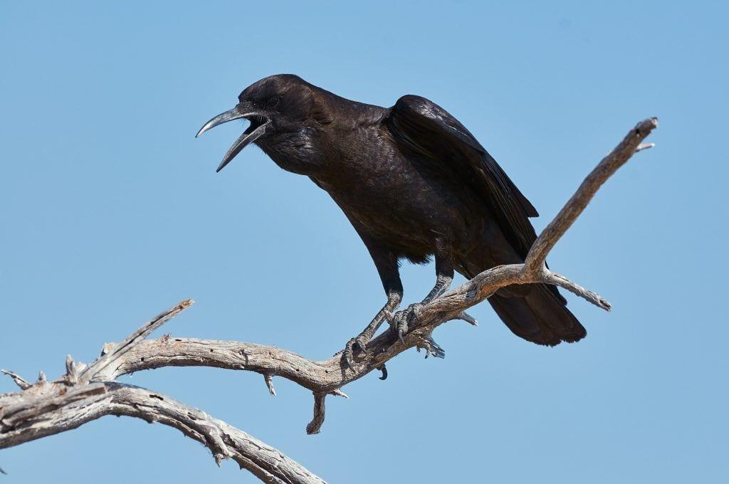cuervos inteligencia 02