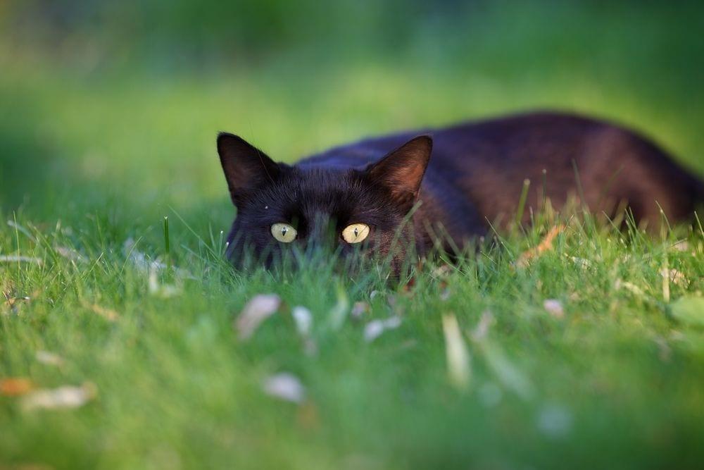 gato-cazando