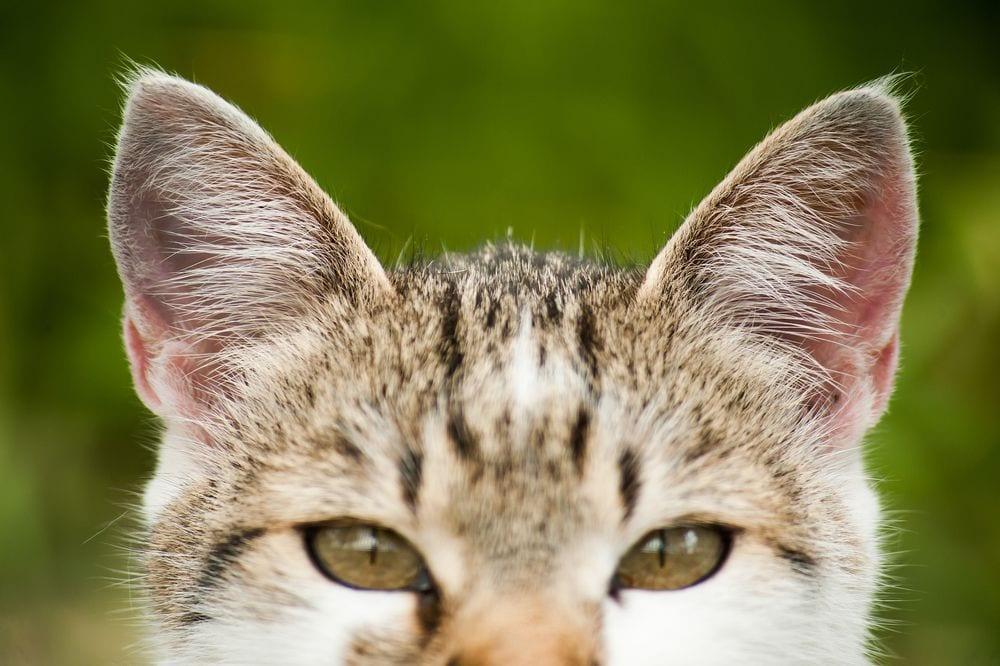 gato-orejas