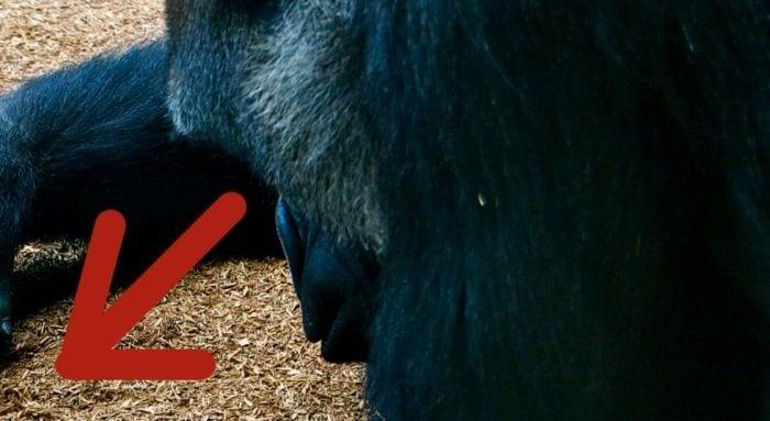 gorila destacada