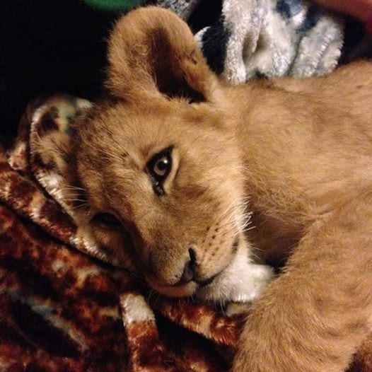 leon-rescatado-01