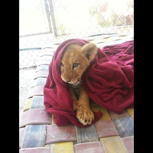 leon-rescatado-03