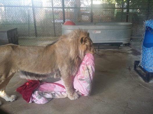 leon-rescatado-06