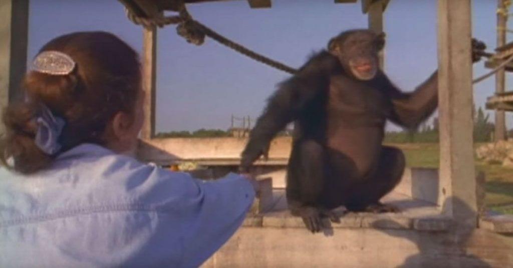 chimpances reencuentro mujer