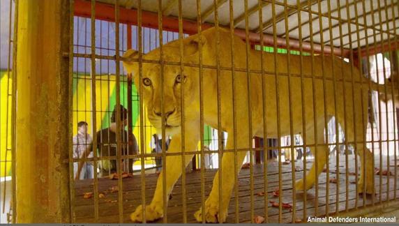 img jelcacho 20160427 103820 imagenes lv otras fuentes a lion22 k49D 572x324@LaVanguardia Web