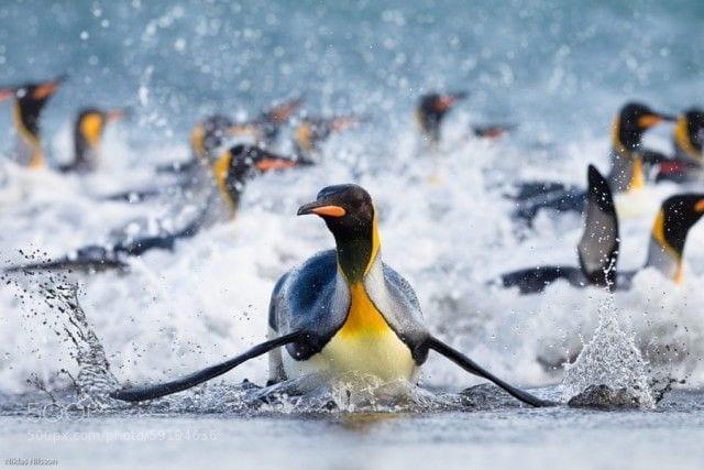 pinguinos-libertad-23