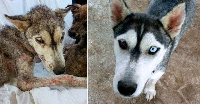 recuperacion husky cachorro