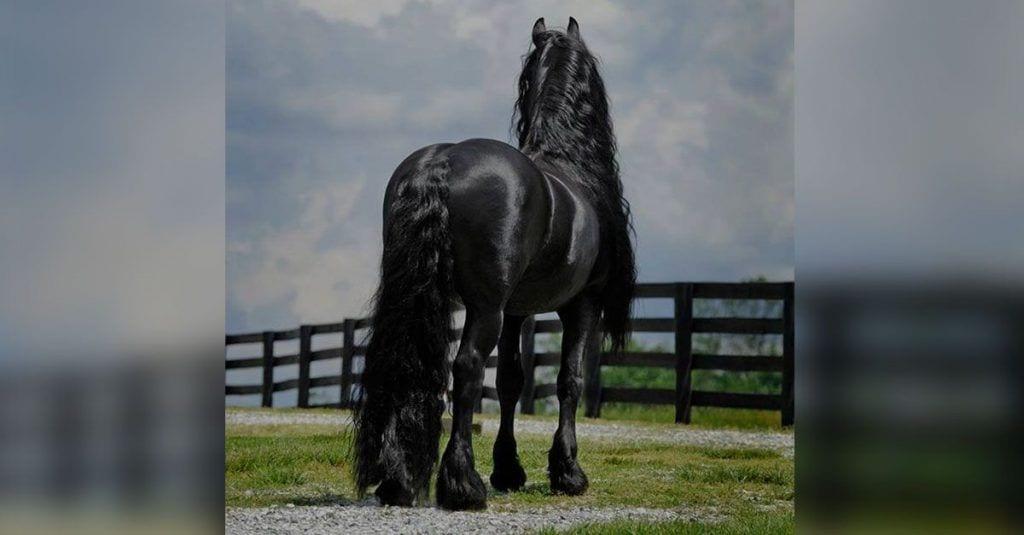 caballo bello negro frison