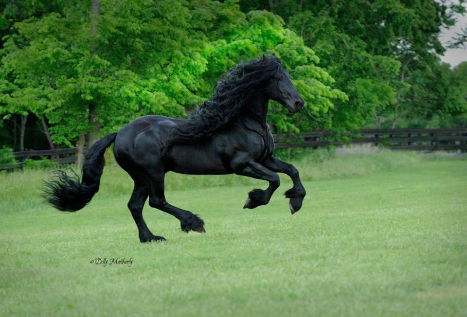 Galopar de un caballo de raza Friesian