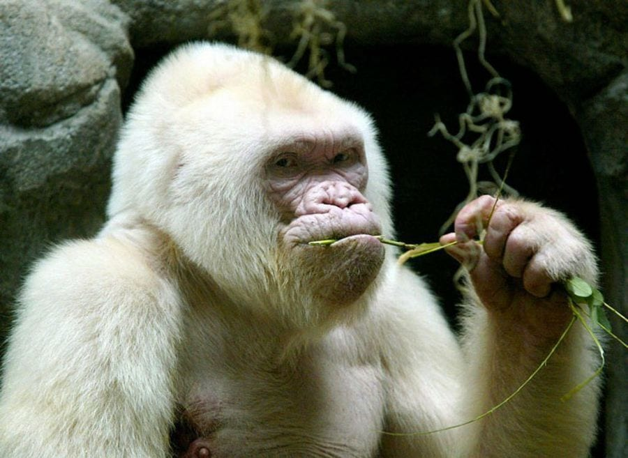 animales-albinos33