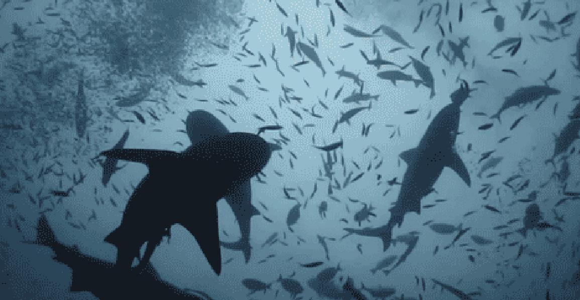 curiosidades tiburones12