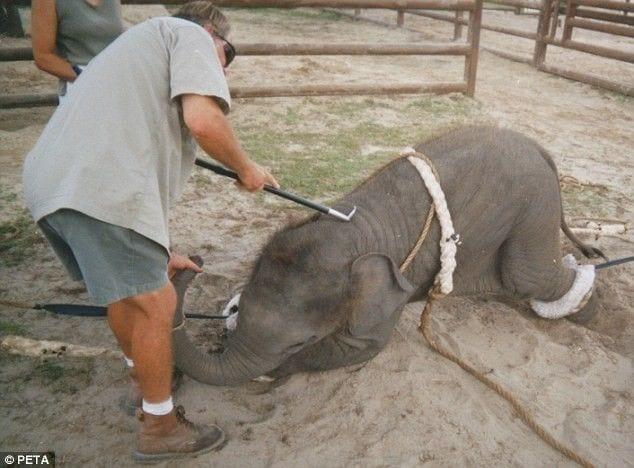 entrenamiento elefantes1