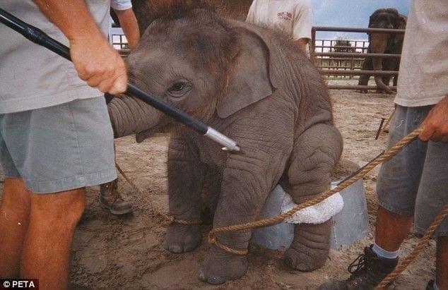 entrenamiento-elefantes2