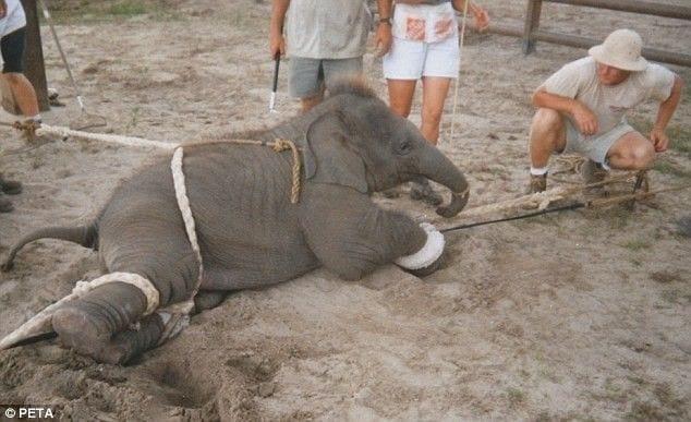 entrenamiento-elefantes3