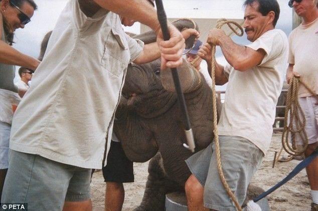 entrenamiento-elefantes4