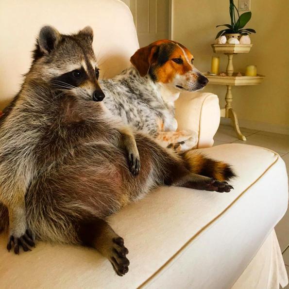 mapache-perro2
