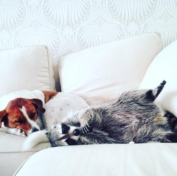 mapache-perro5