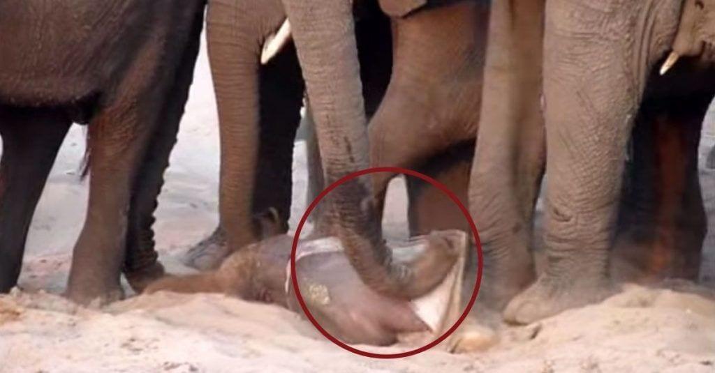 nacimiento elefante