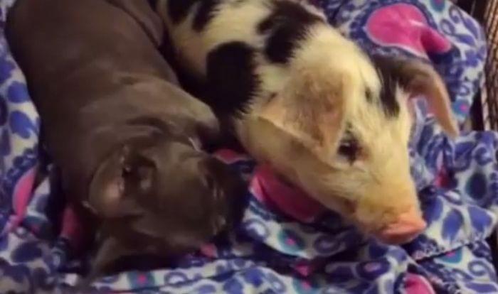 cerdo bulldog amigos 03