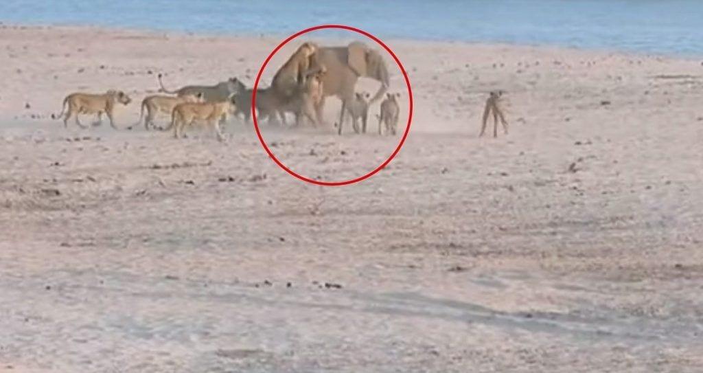 leonas elefanta