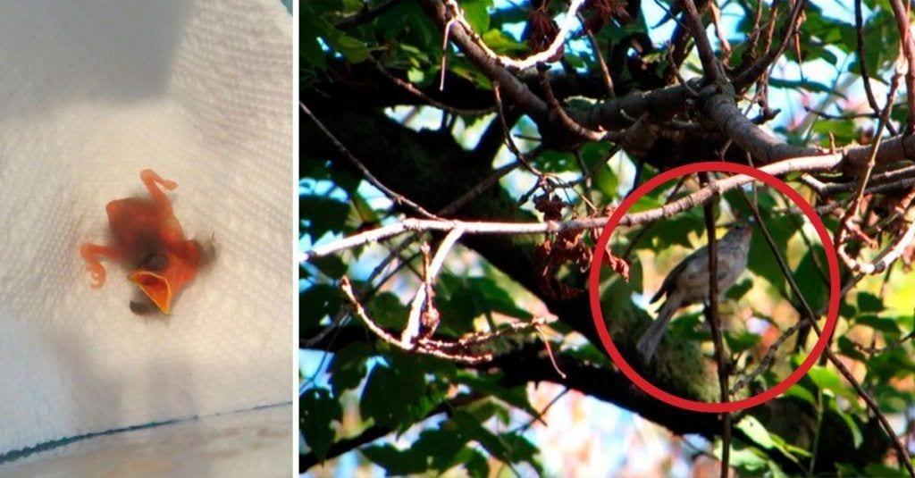 pajaro polluelo criar caido del nido