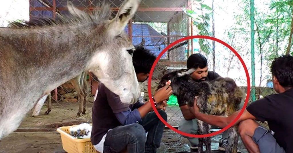 burro herido madre paciente