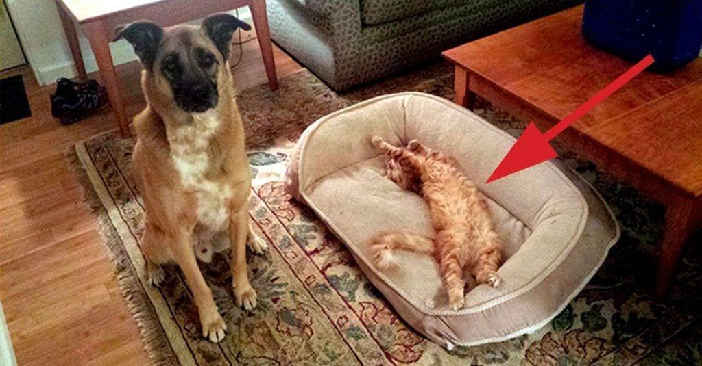 gatos roba camas perros