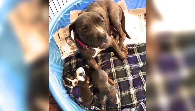 mama pitbull adopta10