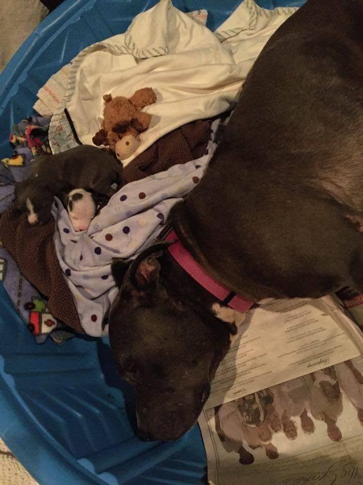 mama-pitbull-adopta2