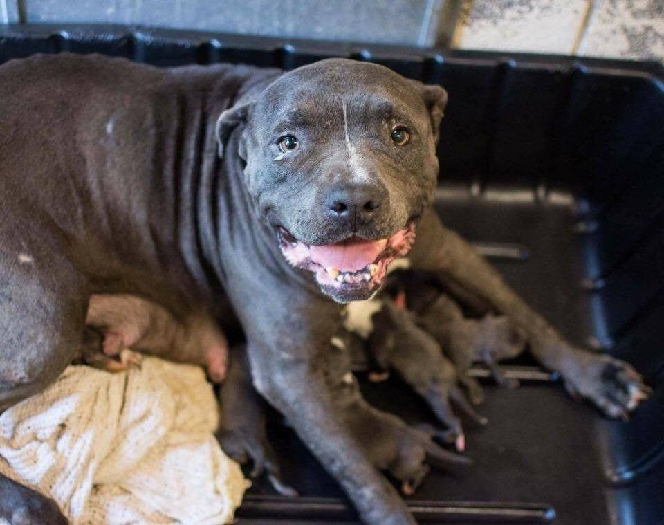 mama-pitbull-adopta5