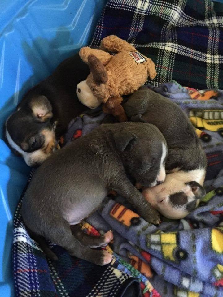 mama-pitbull-adopta6