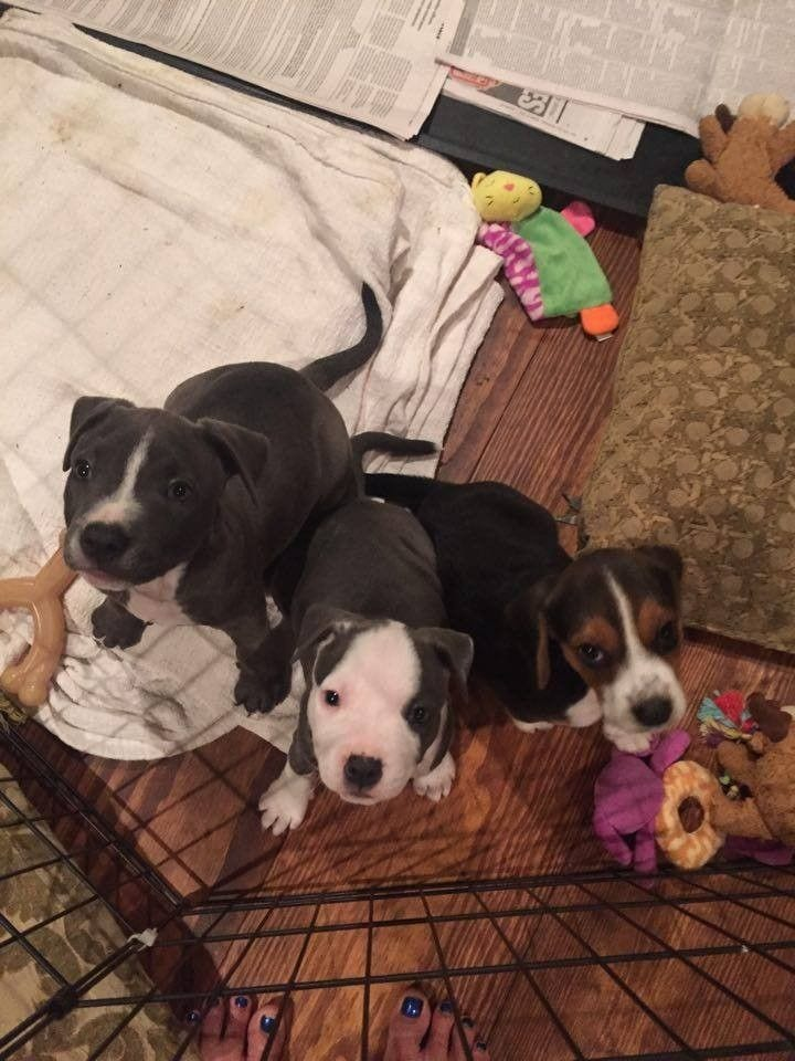 mama-pitbull-adopta7