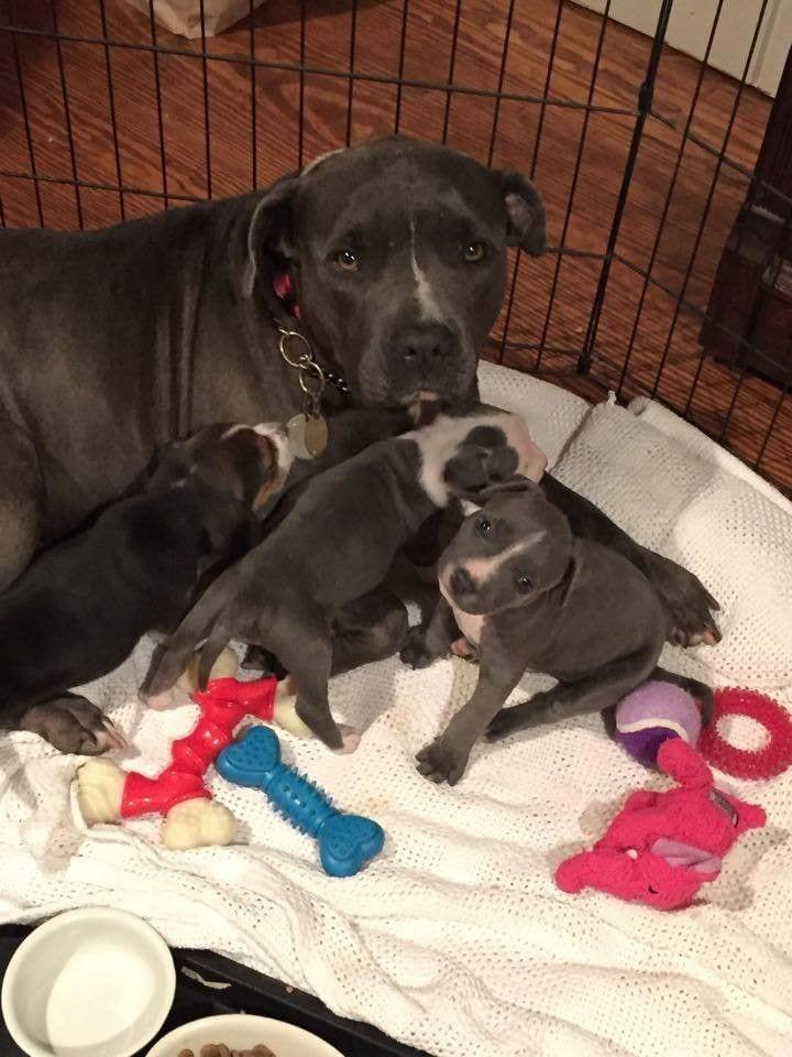 mama-pitbull-adopta8