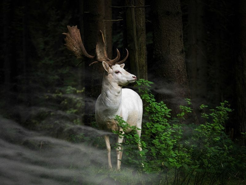 (c) Georg May, Germany, Entry, Nature and Wildlife Category, Open Competition, 2015 Sony World Photography Awards IMAGE TITLE: Morning Hour. IMAGE DESCRIPTION: A white fallow deer standing in the morning mist an early morning in Eifel National Park, Germany. One hardly dares to move - can only look fascinated. IMAGE LOCATION: Germany