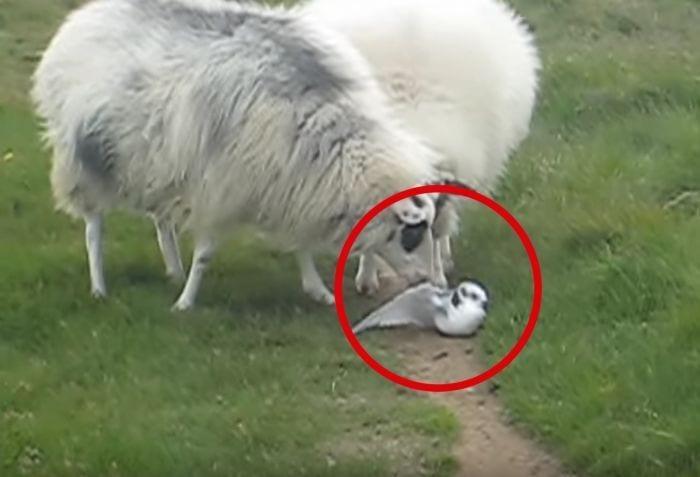 ovejas ayudan pajaro destacada