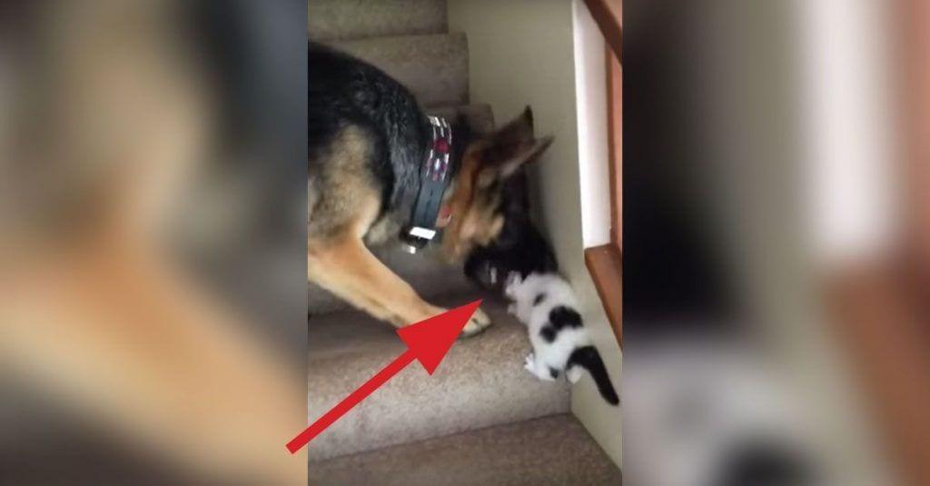 pastor aleman gato escaleras dest