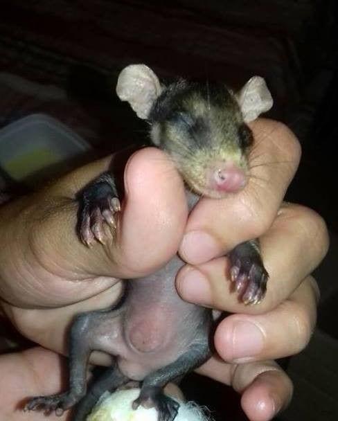 perro-adopta-zarigueya2