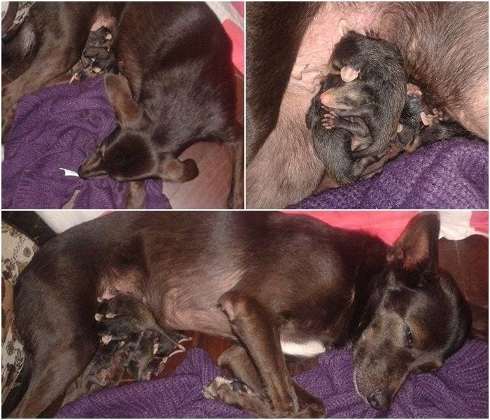perro-adopta-zarigueya5
