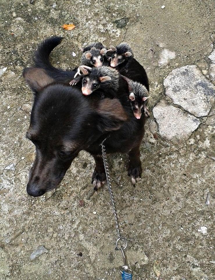 perro-adopta-zarigueya6