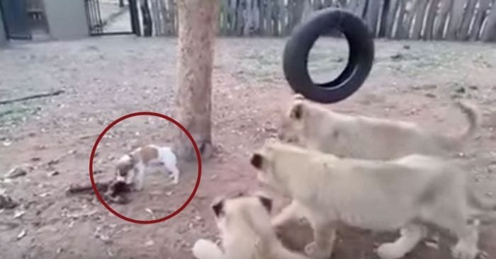 perro domador leones