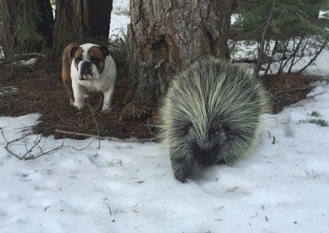 puercoespin-perro2