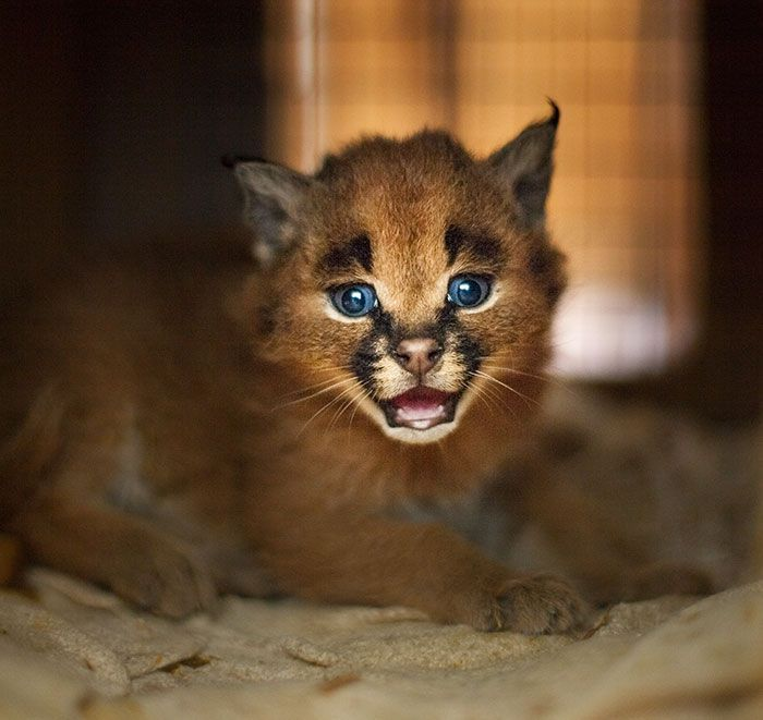 gato-precioso7