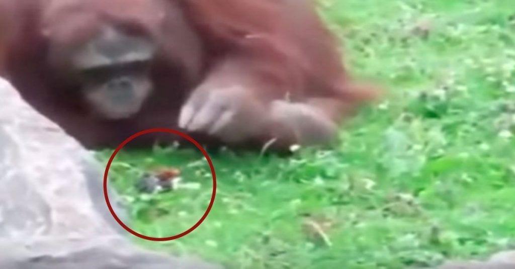 orangutan salva pajarillo zoo