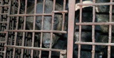 oso liberado3