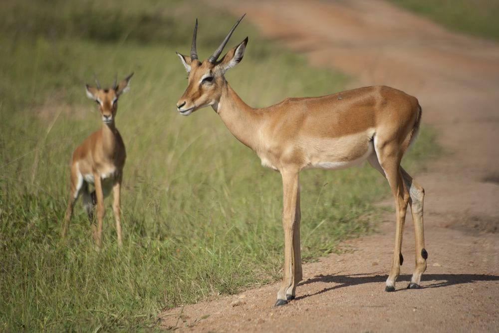 antilope-maraton