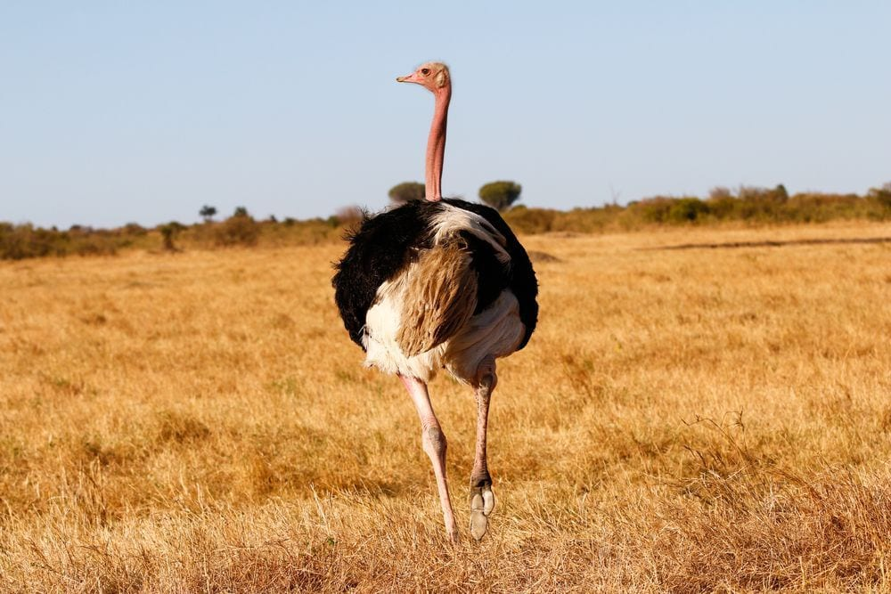 avestruz-maraton